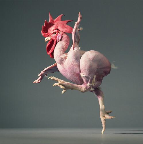 Tim Flach dancing chicken