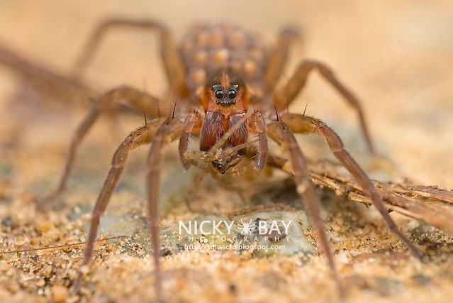 Wolf Spider (Lycosidae) - DSC_2464