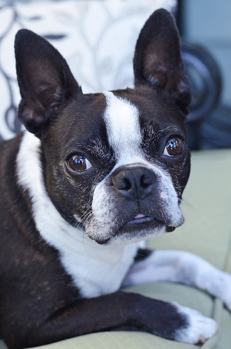 A Boston Terrier looking at the camera.