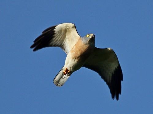 赤腹鷹雌鳥(圖片攝影:曾建偉)