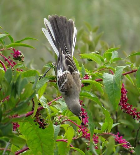 Mockingbird Reaching for a Berry