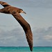 Black footed albatross in Flight by ArtsCouncilSC13