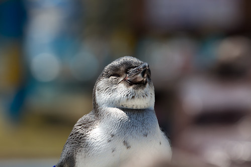 Sleepy penguin baby by taisukecamera