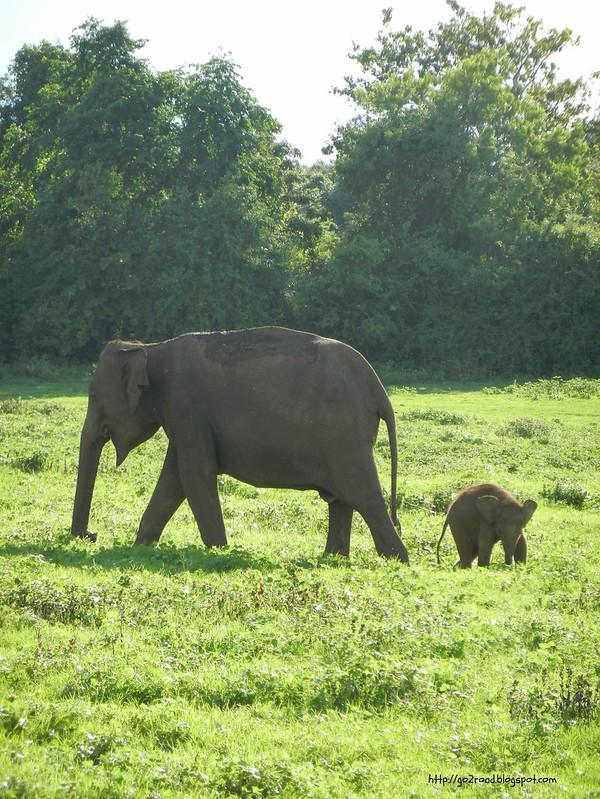 Слониха со слоненком, Шри Ланка