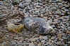 Orkney Grey Seal Pups