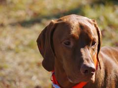 pointer(0.0), dog breed(1.0), animal(1.0), dog(1.0), pet(1.0), mammal(1.0), vizsla(1.0),