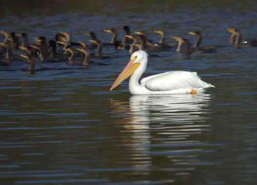 American White Pelican with Cormorants