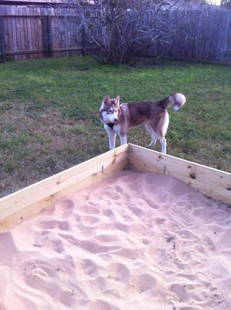 Digging husky, built sandbox and won't dig in it 11191353483_1688146b1c_z