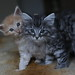 NL* Titran's Rossolimo & his sister Rapid Chess Devil by Titran's Norsk Skogkatt
