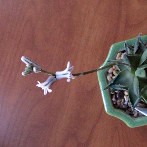 haworthia mucronata by flyingbytheseatofmypants