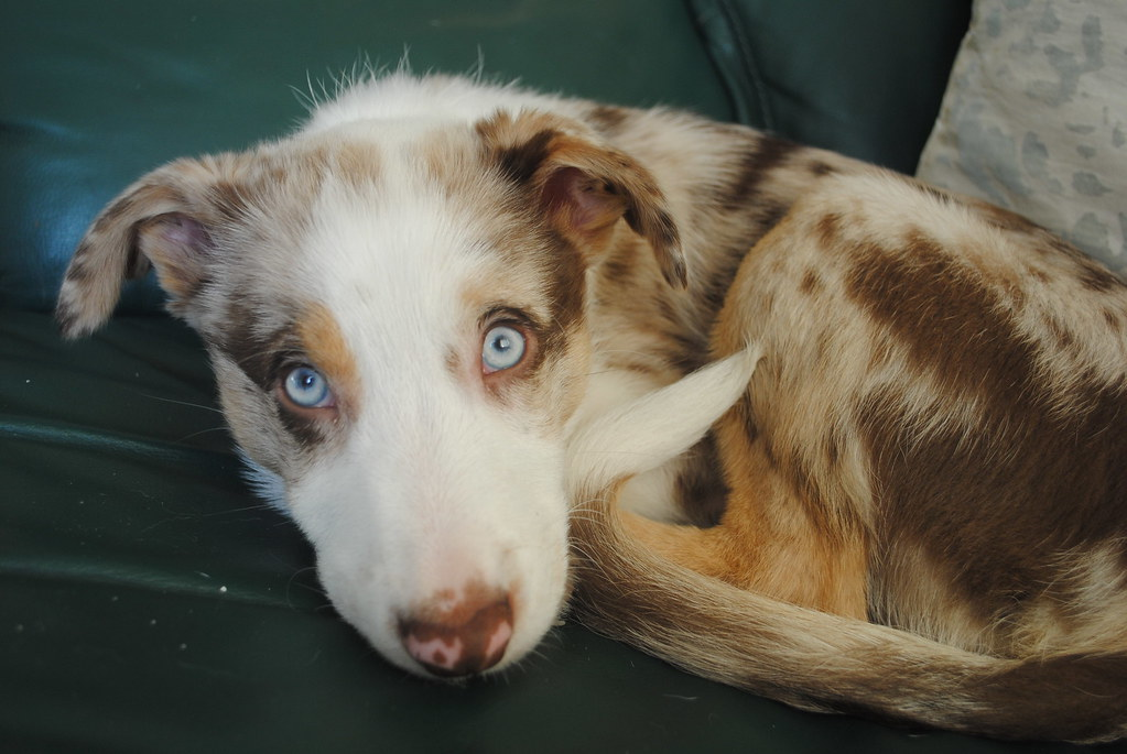Red Merle Border Collie Puppy Revel The Blue Eyed Red Mer Flickr