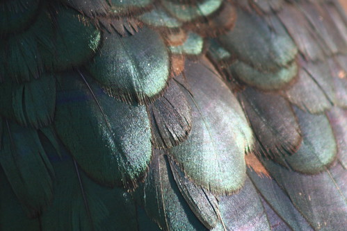 Muscovy Feathers