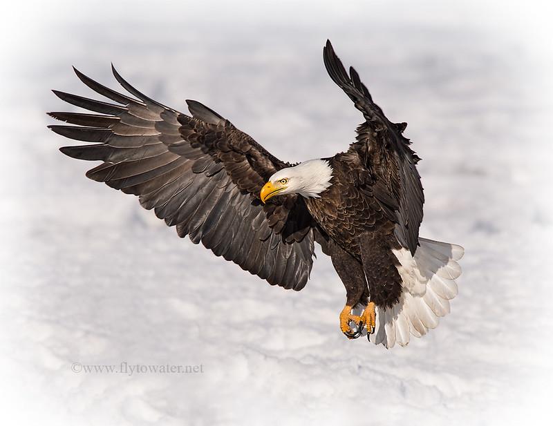 American Bald Eagle Inbound