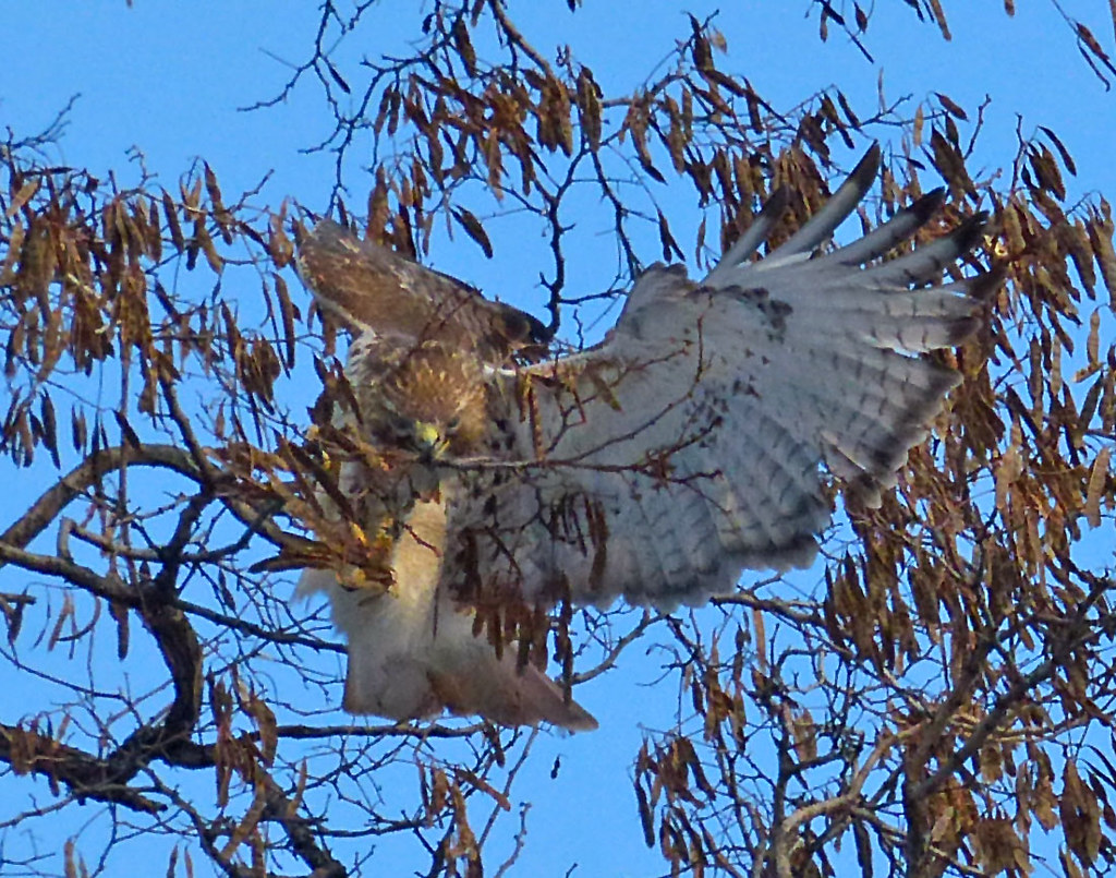 Adult red tail gathering twigs in Tompkins Square