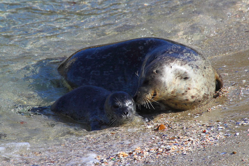 IMG_0297 Harbor Seal