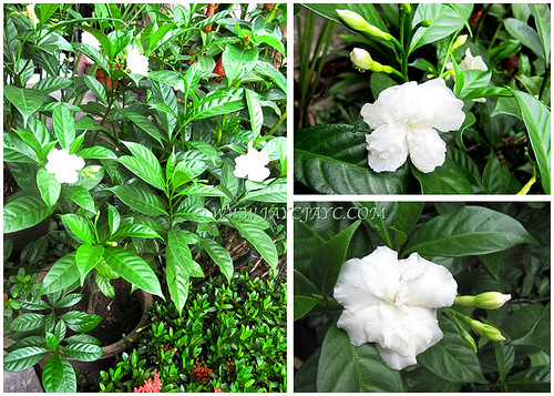 Tabernaemontana divaricata cv. Flore Pleno (Crepe Gardenia, Crepe Jasmine) with pure-white ruffled petals, April 24 2014