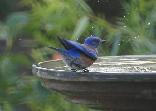 Western Bluebird Bathing