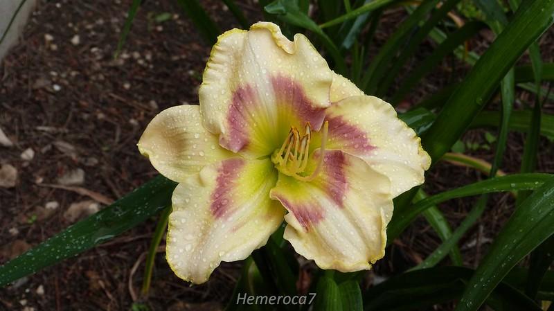 Hybrides 2014 chez hemeroca7 14251808646_6cf589b173_c