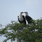 A pair of fish eagles nesting above the Kazinga Channel at Queen Elizabeth National Park, Uganda