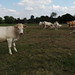 Small photo of Charolais at the mairie in Berthouville