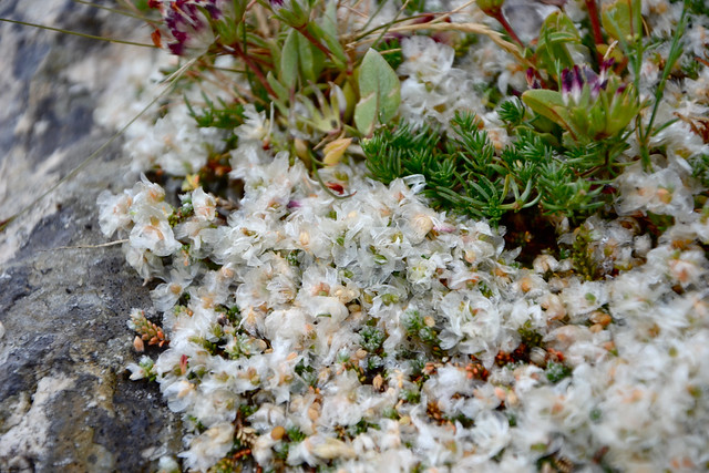 Paronychia kapela subsp. galloprovincialis - paronyque de Provence 14466972553_13028e2710_z
