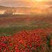 Poppy Dawn by jactoll
