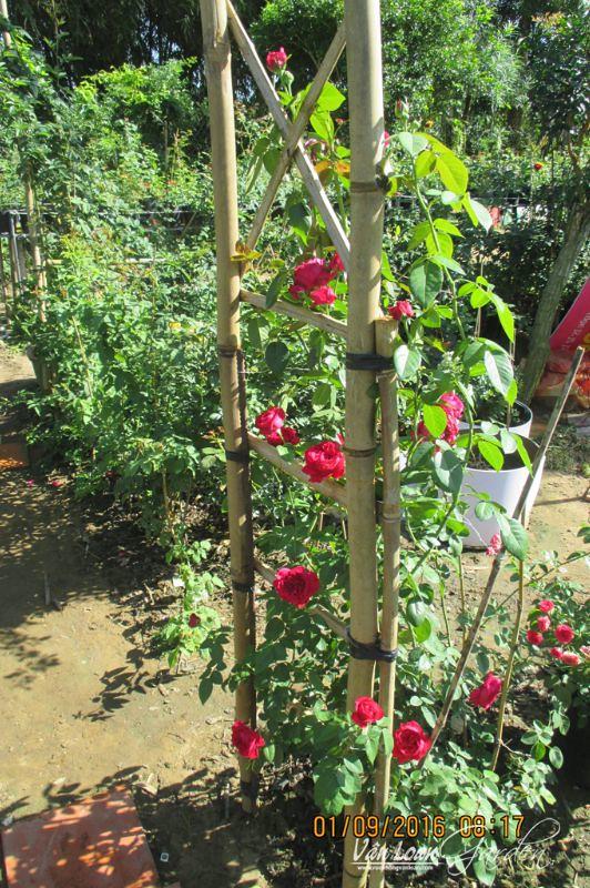 hoa hong leo red eden rose 1111 (7)-vuonhongvanloan.com