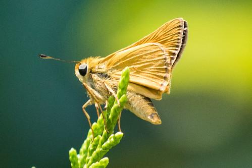 skippersfamilyhesperiidae