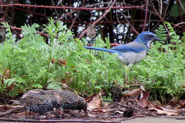 Scrub Jay and Starlings, Canon POWERSHOT SX50 HS