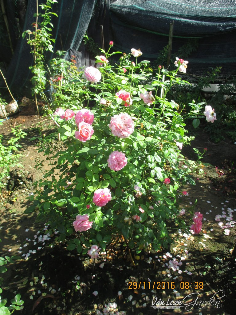 Claude Monet rose-vuonhongvanloan.com