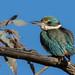 sacred kingfisher (Todiramphus sanctus)-6806 by rawshorty