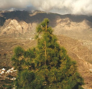 Pinus canariensis (Canarian Pine)
