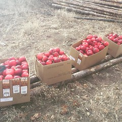 the birds, coons and deers still have plenty, but these apples are going to standing rock--