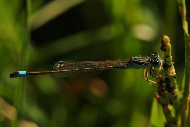 Spanish Damselfly