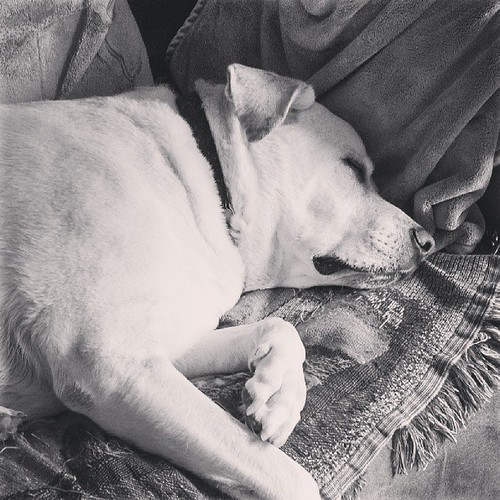 Zeus #love #bigdog #dogstagram #labmix #sleepy