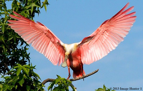 Roseate Spoonbill Winging It