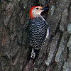 red-bellied woodpecker-2 by dsp2 55