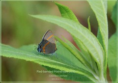 Red-banded Hairstreak Missouri Butterfly photography by Ron Birrell; DSC_0986