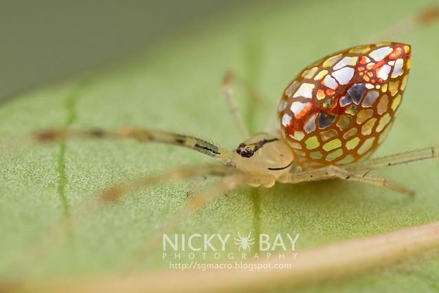 Mirror Spider (Thwaitesia sp.) - DSC_9752