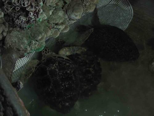 03-2013澎湖-綠蠵龜
