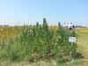 "Project ""Quinoa Felix"": FAO staff visit the site in Ercolano, Italy by FAO of the UN"