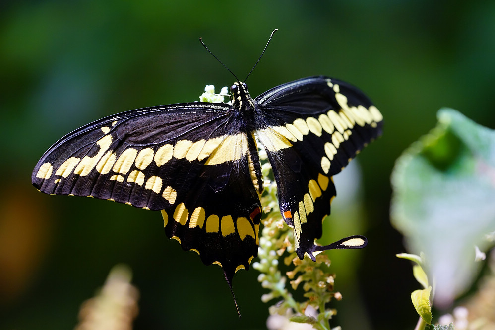 美洲鳳蝶 Papilio ophidicephalus-1