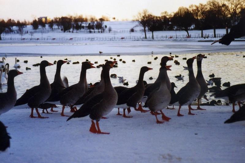 Hogganfield Loch Ducks