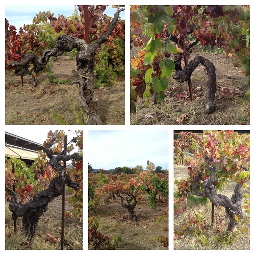 Old Vines at Lytton Springs