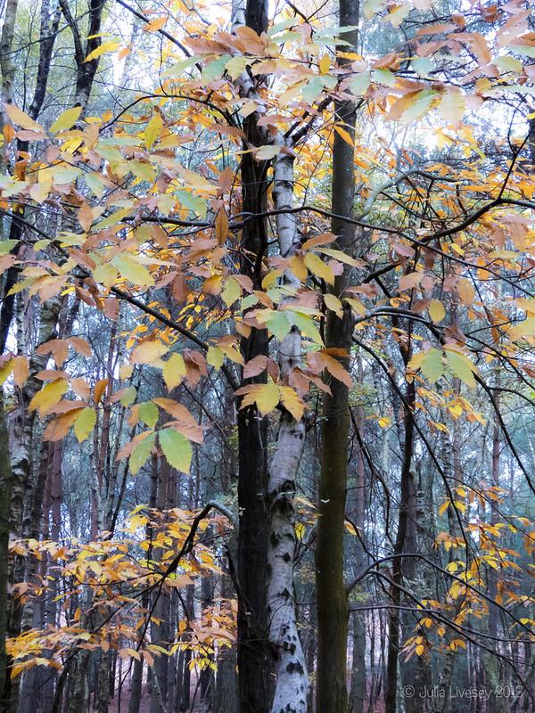 Sweet Chestnut leaves against Silver Birch trunks