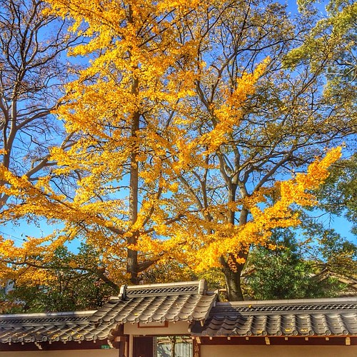 杭全神社の参道沿いにある満願寺のイチョウも見事なり。