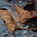 leaf on icy pond by courtney065