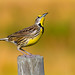 Eastern Meadowlark 1924 by Nature Photos by Scott