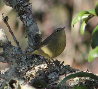 2013 12 17_9208_orange-crowned warbler
