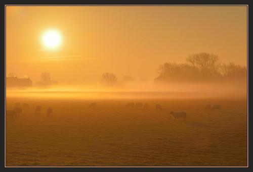 mist nature st fog sunrise grey dawn sheep wildlife bcn meadow reserve trust cambridgeshire ives hemingford